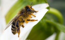 蜜蜂桔子 库存照片