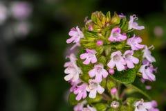 蜜蜂花 库存图片
