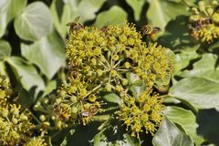 蜜蜂蜂蜜蜂,会集花蜜的Apis mellifera的好的图片 库存图片