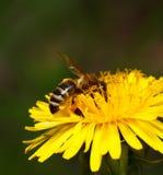 蜜蜂被授粉的花 免版税库存图片