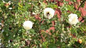 蜜蜂采集花蜜,授粉白花,离开 影视素材
