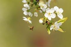 蜜蜂飞行到樱桃花 库存图片