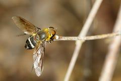蜜蜂飞行的图象在一个棕色分支的 昆虫 敌意 库存照片