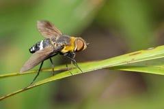 蜜蜂飞行的图象在一片绿色叶子的 昆虫 敌意 库存照片