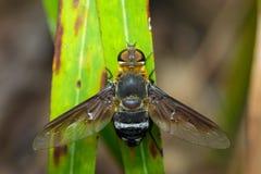 蜜蜂飞行的图象在一片绿色叶子的 昆虫 敌意 免版税库存照片