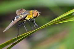 蜜蜂飞行的图象在一片绿色叶子的 昆虫 敌意 库存图片