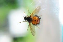 蜜蜂飞行 库存照片