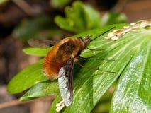 蜜蜂飞行 免版税库存照片