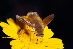 蜜蜂飞行 免版税库存图片