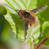 蜜蜂飞行(Bombylius少校) 免版税库存图片