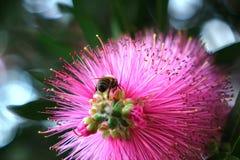 蜜蜂饲养的特写镜头在花的 免版税库存图片