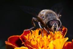 蜜蜂 免版税库存图片