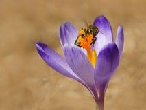 蜜蜂Apis mellifera,在番红花的蜂在春天 库存照片