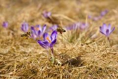 蜜蜂Apis mellifera,飞行在番红花的蜂在春天 免版税库存图片
