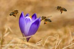 蜜蜂Apis mellifera,飞行在番红花的蜂在春天 库存图片