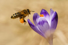 蜜蜂Apis mellifera,飞行在番红花的蜂在春天 免版税图库摄影