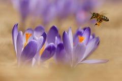 蜜蜂Apis mellifera,飞行在番红花的蜂在春天 免版税库存照片