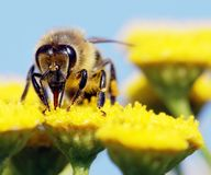 蜜蜂polinated花 库存照片