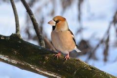 蜡嘴鸟坐一本下落的干燥日志以干草和雪为背景 免版税库存图片