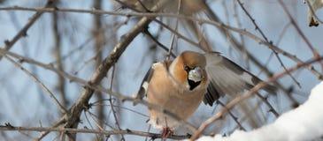 蜡嘴鸟坐分支在自然生态环境 库存图片