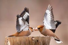 蜡嘴鸟球脆霉素在饲养者的球脆霉素战斗 免版税库存照片