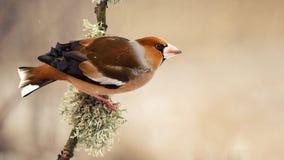 蜡嘴鸟球脆霉素球脆霉素坐有青苔的一根美丽的棍子 库存图片