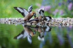 蜡嘴鸟,球脆霉素在waterhole的球脆霉素决斗在森林反射与打开的表面上 库存照片