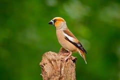 蜡嘴鸟,球脆霉素球脆霉素,棕色歌手坐树干好的地衣树枝,鸟在自然栖所, 免版税库存照片