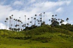 蜡榈树,哥伦比亚 库存照片