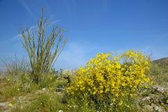 蜡烛木在土狼峡谷的, Anza-Borrego沙漠国家公园春天沙漠开花,在Anza博雷戈斯普林斯附近,加州 免版税库存照片