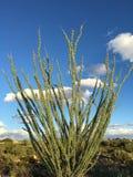 蜡烛木在地面蛇沙漠,斯科茨代尔, Az 免版税库存照片