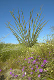 蜡烛木在春天沙漠开花在土狼峡谷, Anza-Borrego沙漠国家公园,在Anza博雷戈斯普林斯附近,加州 库存图片
