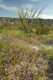 蜡烛木在沙漠紫色花在春天开花在土狼峡谷, Anza-Borrego沙漠国家公园,在Anza博雷戈斯普林斯附近, 库存照片