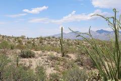 蜡烛木在Sonoran沙漠 免版税图库摄影