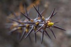 蜡烛木植物在Anza Borrego沙漠国家公园 库存照片