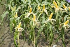 蜡状的从农业玉米种植园的玉米或玉蜀黍属5月ceratina 免版税库存照片
