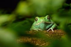 蜡状的猴子青蛙(phyllomedusa sauvagii) 库存照片
