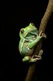 蜡状的猴子青蛙(phyllomedusa sauvagii) 库存图片