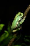 蜡状的猴子青蛙(phyllomedusa sauvagii) 免版税库存图片
