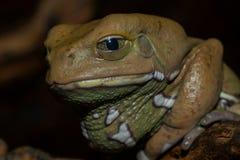 蜡状青蛙的猴子 免版税库存图片