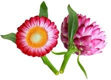 蜡菊属植物返回 免版税库存图片