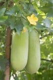 蜡金瓜在庭院里 免版税库存图片