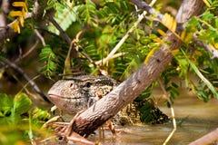 蜥蜴位于的监控程序尼罗水 库存图片
