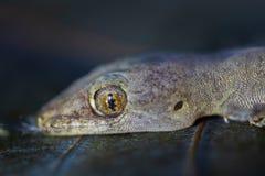 蜥蜴和顶头特写镜头的眼睛 库存图片