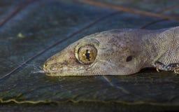 蜥蜴和顶头特写镜头的眼睛 免版税库存照片