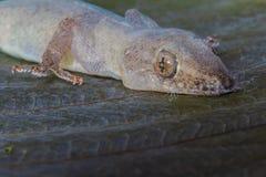 蜥蜴和顶头特写镜头的眼睛 免版税库存图片