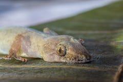 蜥蜴和顶头特写镜头的眼睛 图库摄影