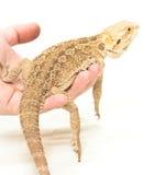 蜥蜴在手中坐pogona的viticeps 免版税库存照片
