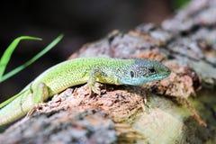 蜥蜴在春天日志的森林 库存图片