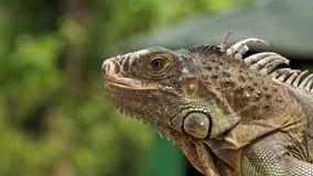 蜥蜴在泰国的野生生物的壁虎特写镜头 股票录像